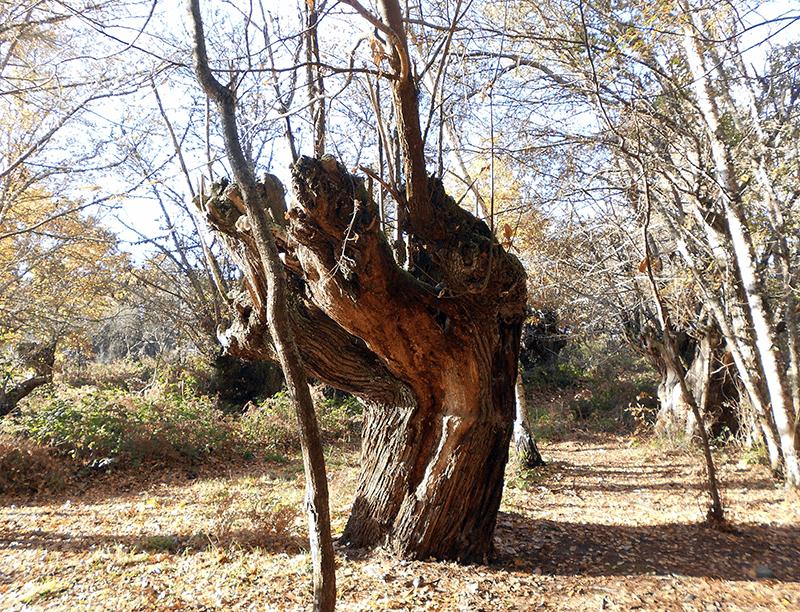 Miradores Ribeira Sacra - MIRADOR PENA DO CASTELO CASTAÑO, árboles centenarios