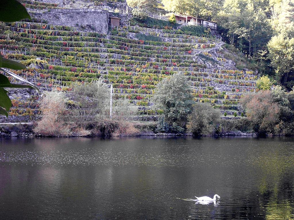 Río Miño Belesar cisne